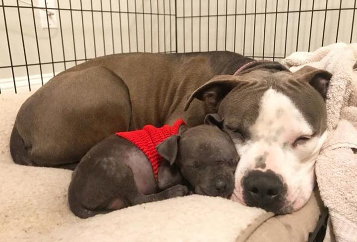 Pitbull adopta cachorro huérfano