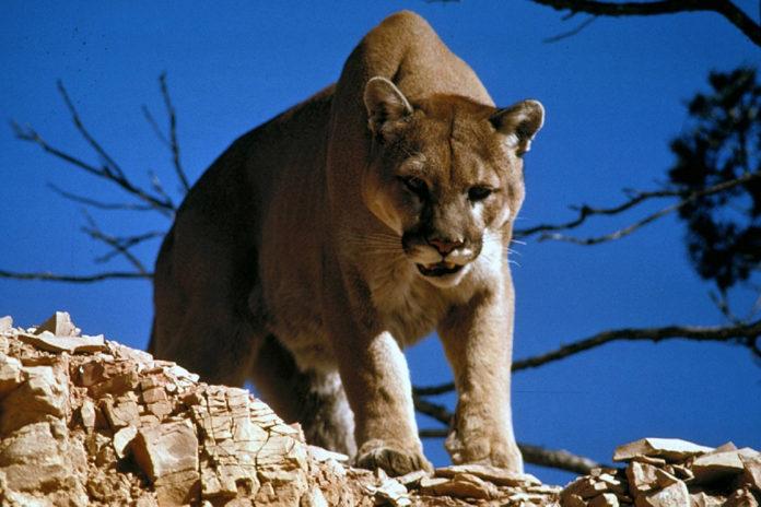 Puma oriental