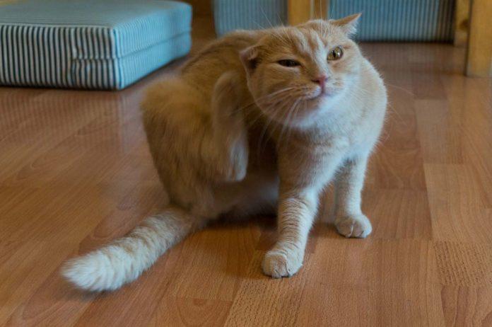Quitar las pulgas de mi gato