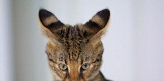 Raza felina gato savannah