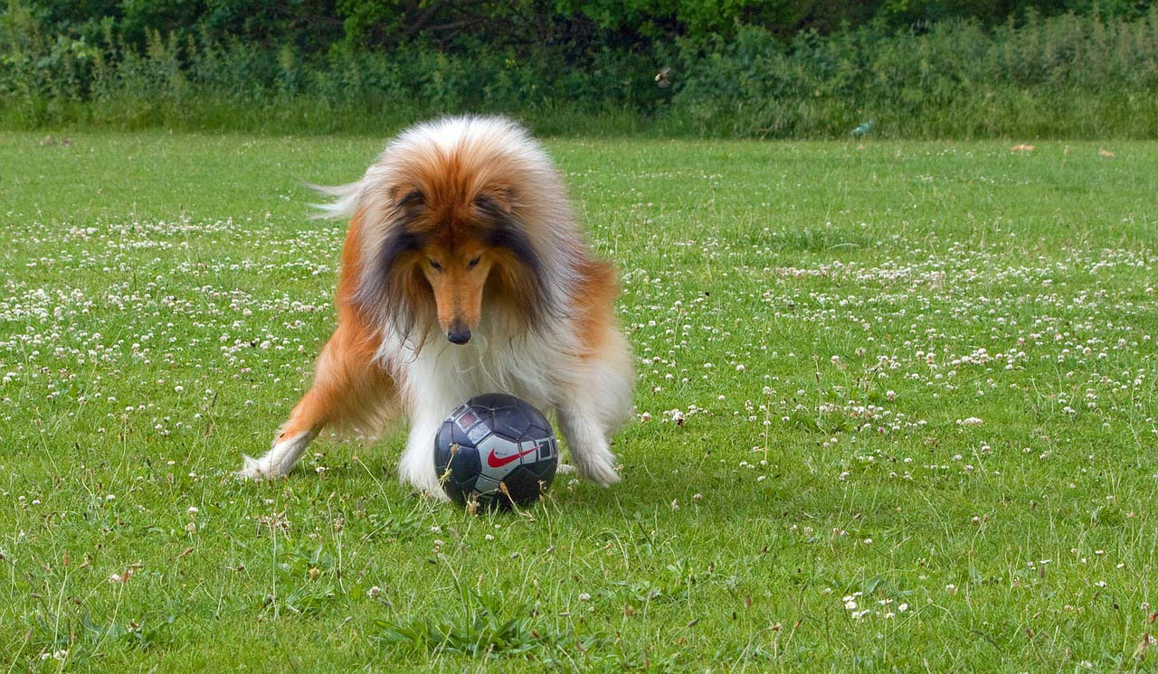 Rough Collie jugando