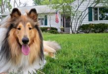 Rough Collie o Collie de pelo largo