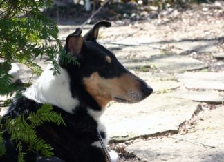 Smooth Collie o Collie de pelo corto