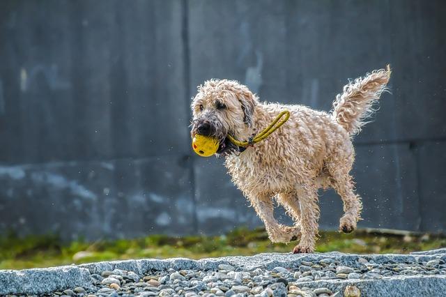 Un perro obeso necesita realizar actividad física con frecuencia