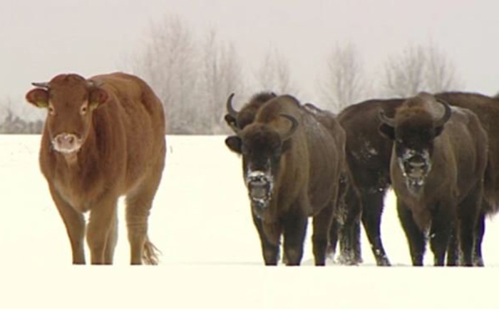 Vaca con bisontes