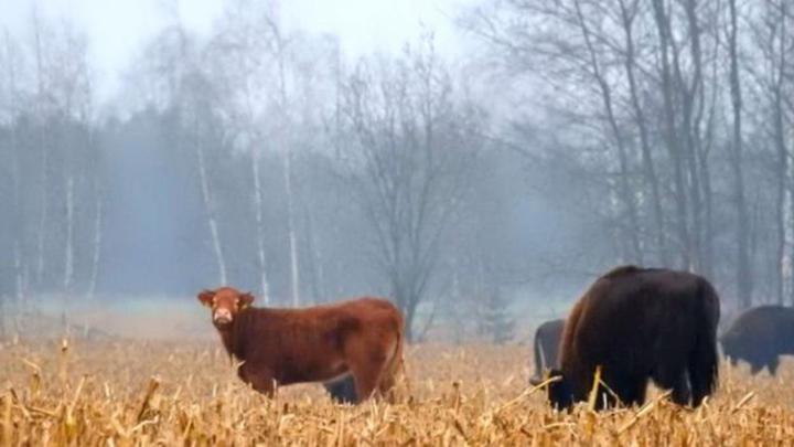 Vaca con grupo de bisontes