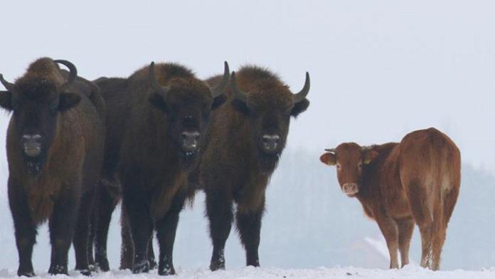 Vaca escapa de granja y se une a manada de bisontes