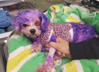 Violet teñida con tinte púrpura