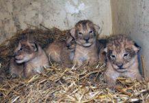 Zoo sacrifica 9 leones bebes