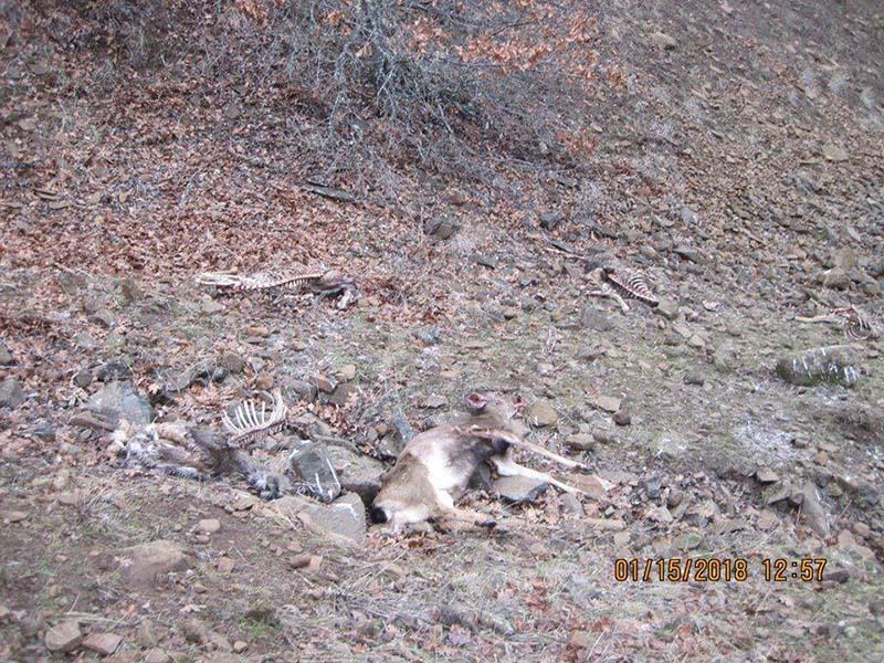 ciervos muertos