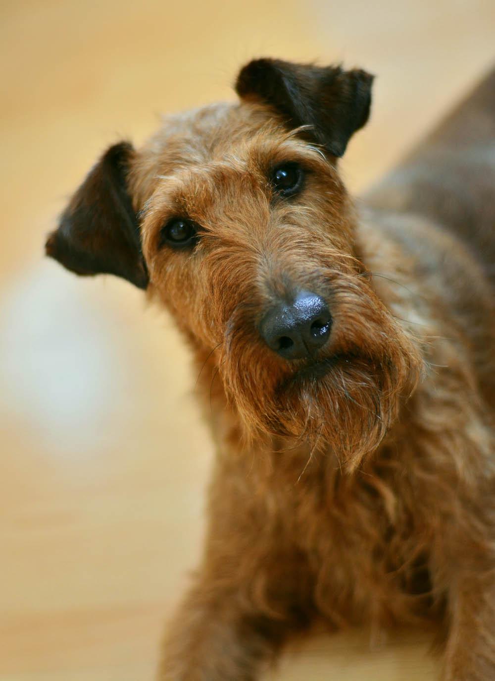 La raza terrier irlandés