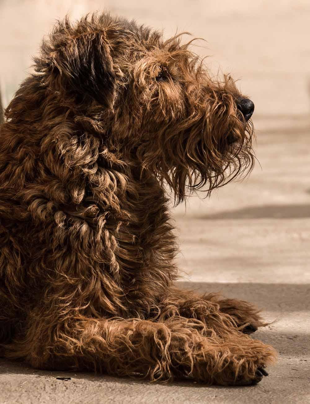 El Terrier irlandés es también conocido comoIrish Red Terrier