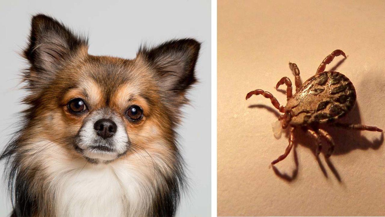 como eliminar las garrapatas en las mascotas