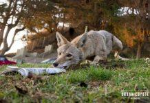 Coyote captado robando periódicos