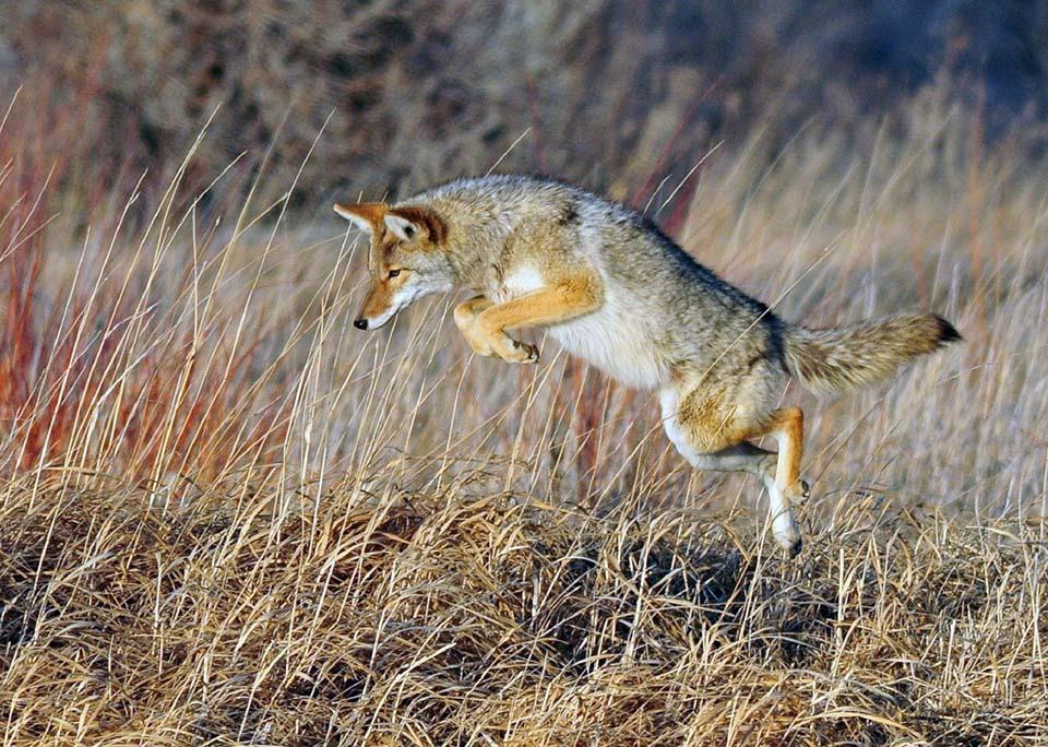 Coyote jugando
