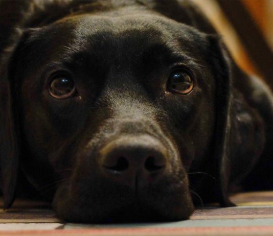 Ehrlichia canis o ehrlichia en perros