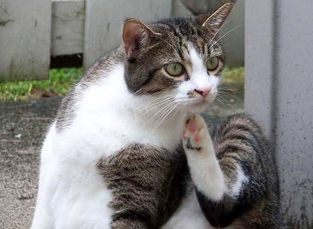 Eliminar las pulgas de un gato