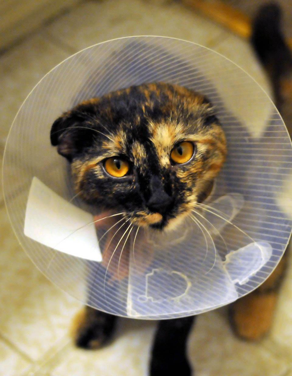 Gato con cuello isabelino