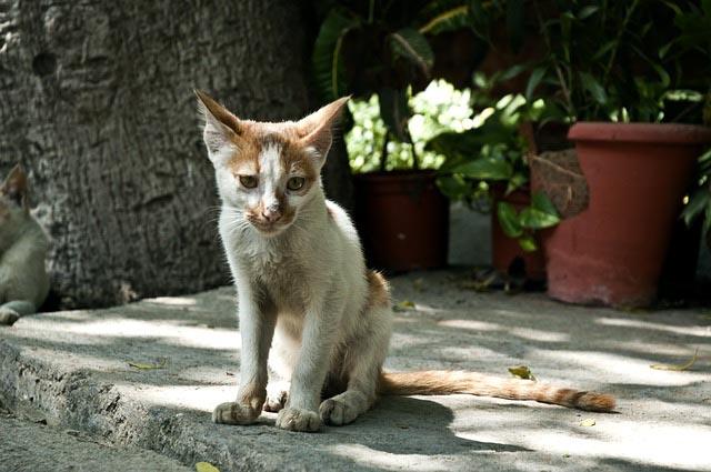 Gato delgado