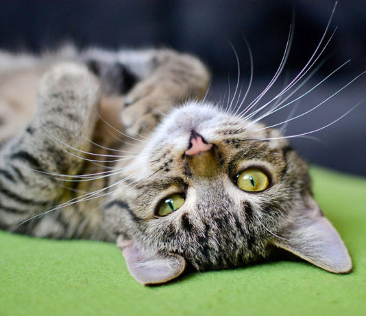 Gatos debes ser esterilizados en Belgica