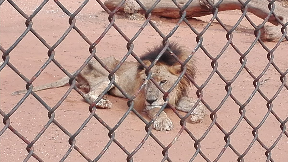 León demacrado