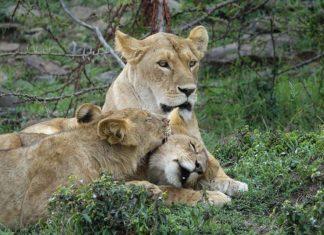 Manada de leones asesinan a cazador furtivo