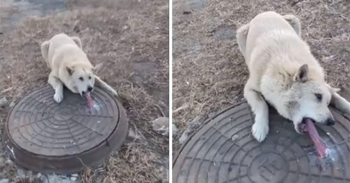 Perro con lengua pegada a alcantarilla