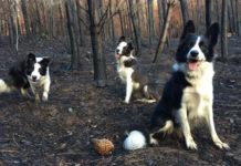 Perros corren para reforestar bosque en Chile