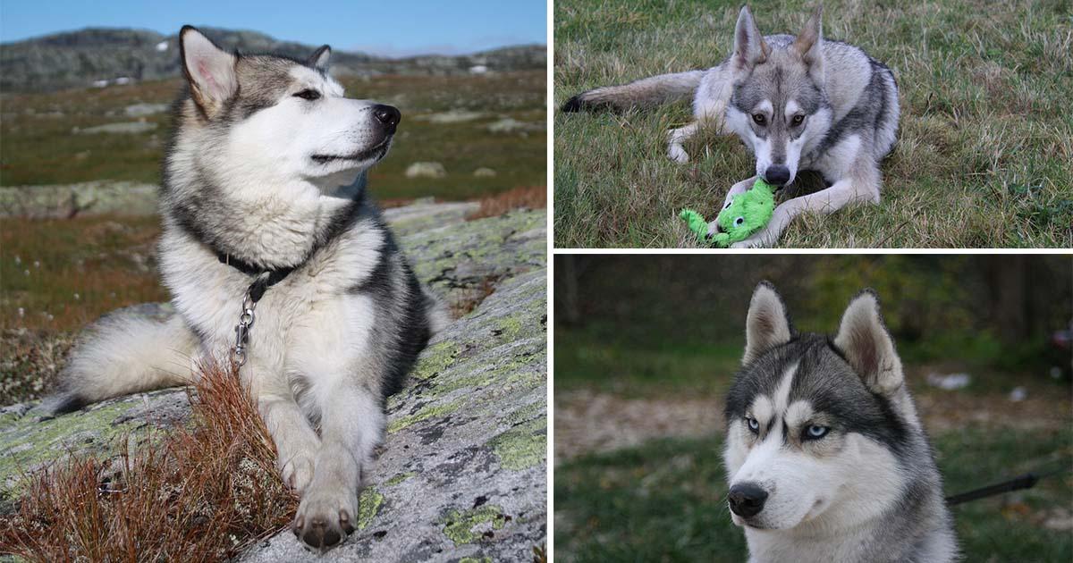 Perros que parecen lobos