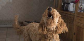 Por qué mi perro no ladra o ladra poco