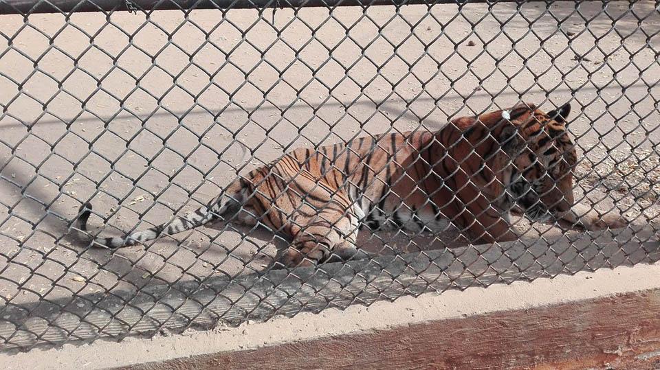 Tigre desnutrido