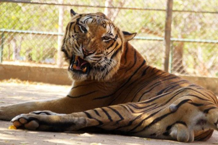 Tigre en Zoo