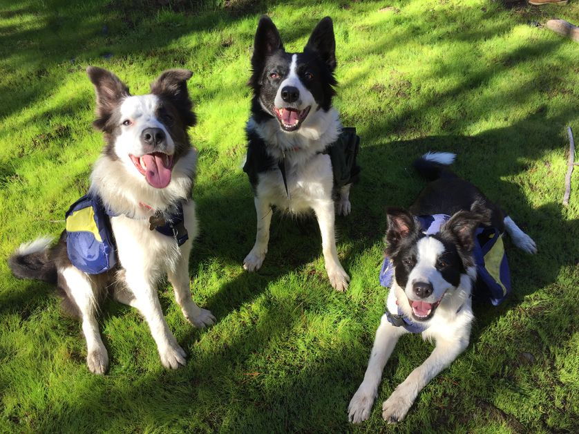 Tres Border Collies