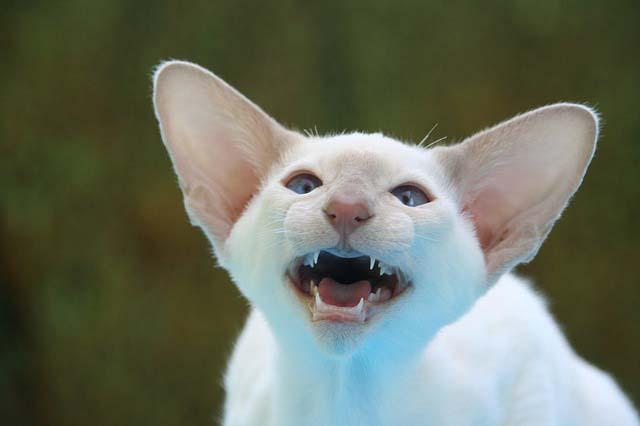 Un gato puede ser agresivo por varias razones