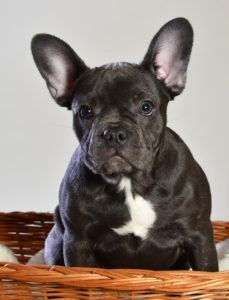 ehrlichiosis canina