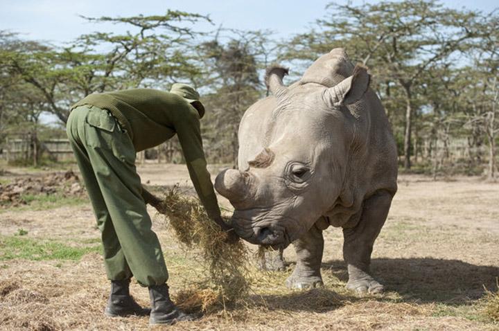 Alimentan rinoceronte