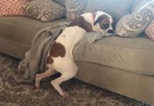 Boxer evita que la bajen del sofá