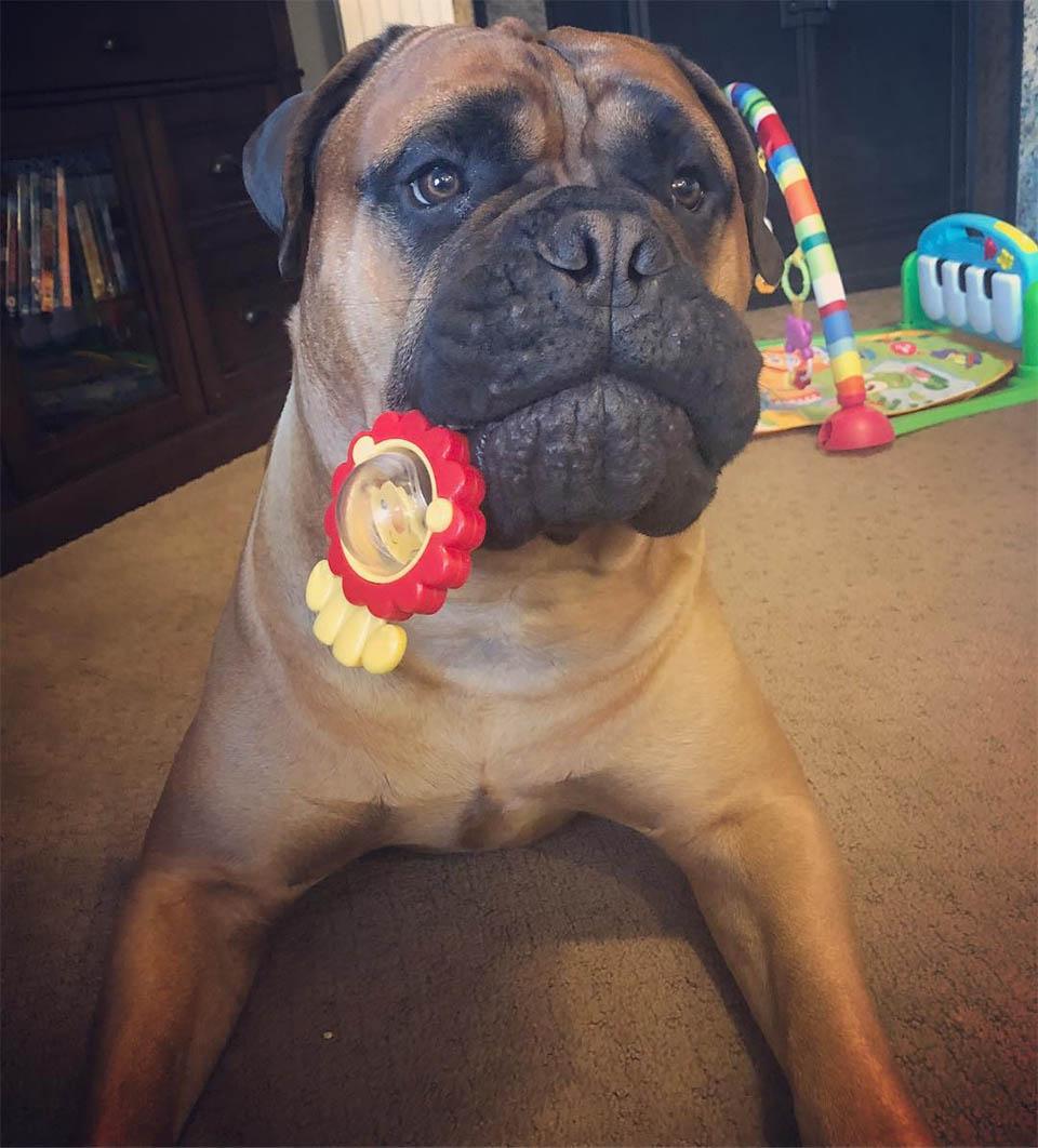 Brutus con juguete