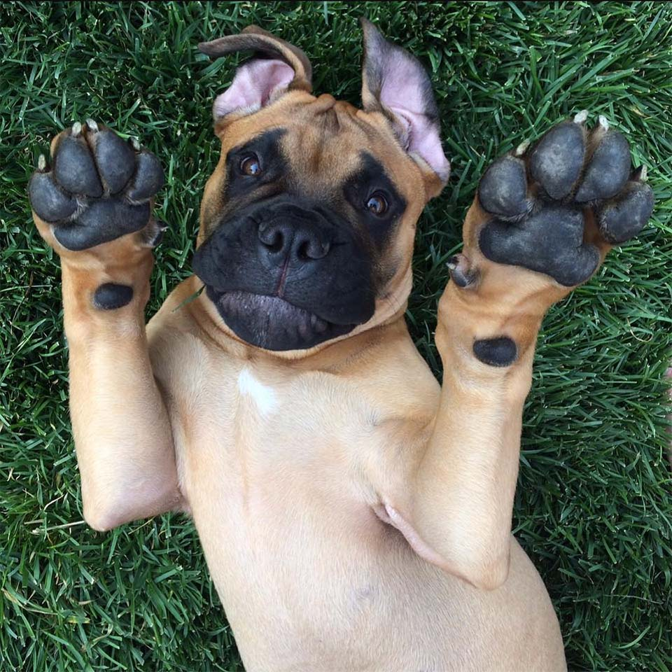 Brutus pequeño