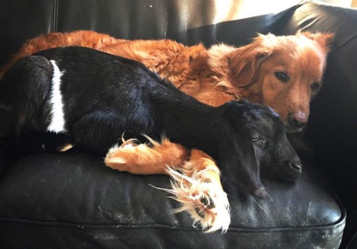 Cabra abraza a un perro que perdio a su amigo