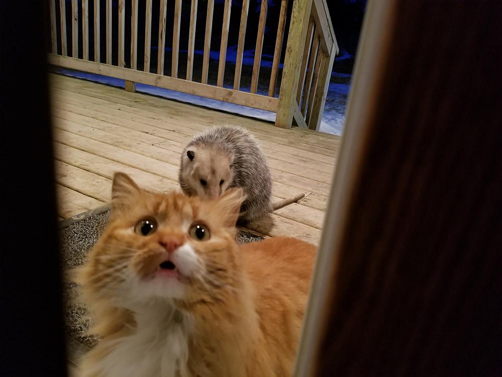 Gato lleva zarigüeya a cenar