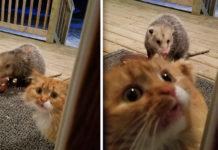 Gato salvaje trae invitado inusual a la cena