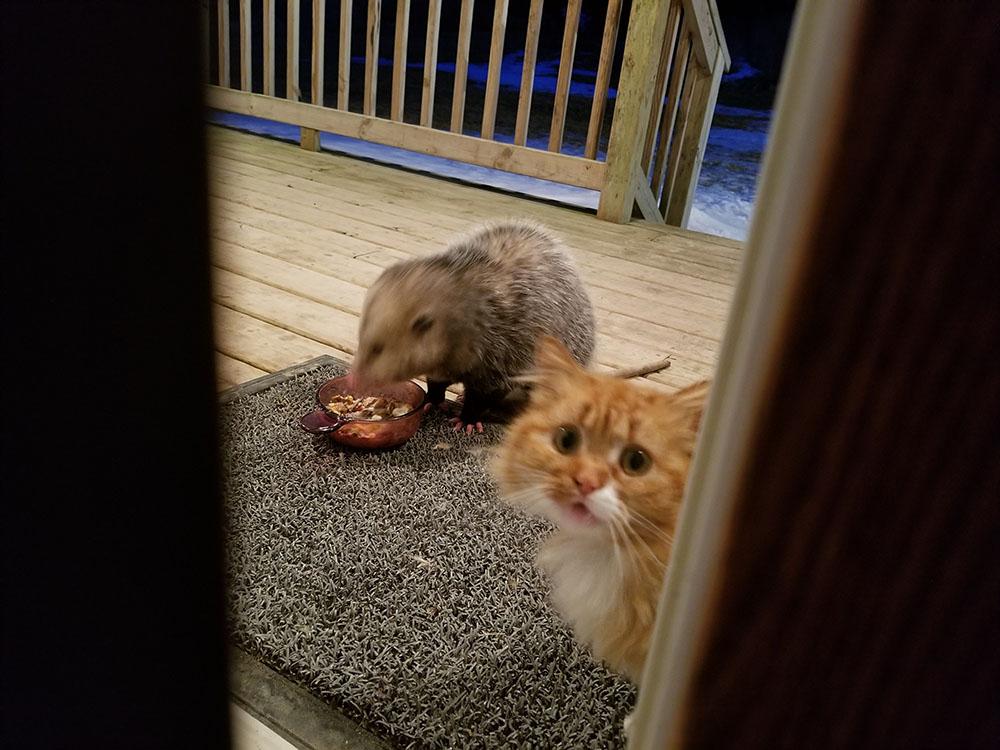 Gato y zarigüeya