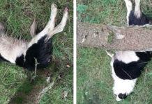 Granjero enviado a prisión después de colgar a su perro