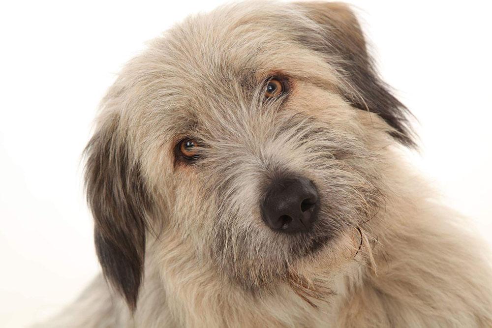 Kratu adoptado