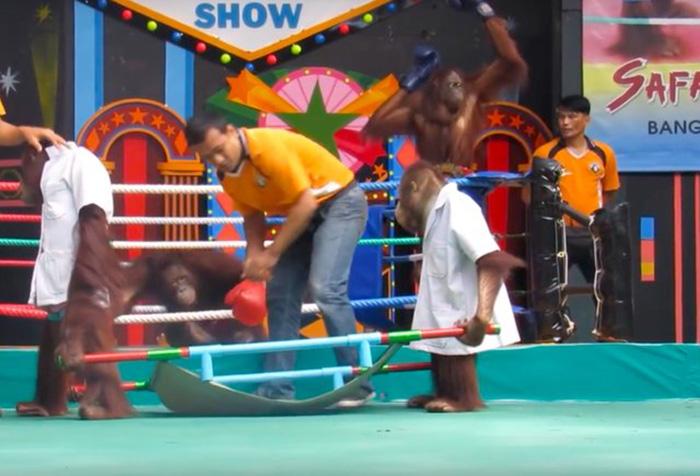 Orangutan en el ring