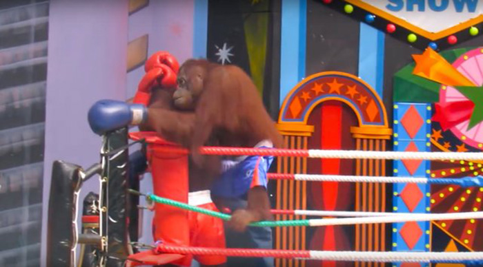 Orangutan peleando en el ring