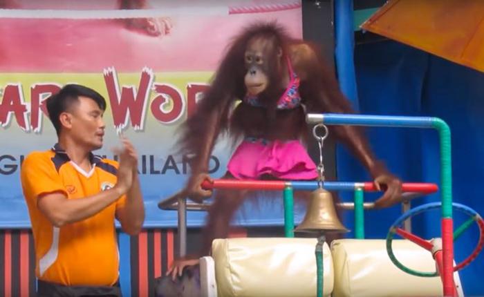 Orangutan vestido
