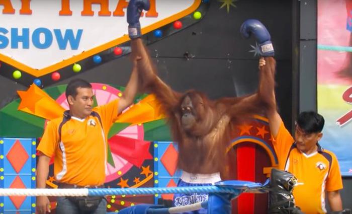 Orangutanes peleando