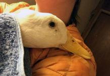 Pato no para de abrazar a la mujer que la salvó